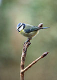 μπλε parus caeruleus tit Στοκ φωτογραφίες με δικαίωμα ελεύθερης χρήσης