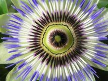 μπλε passiflora Στοκ Φωτογραφία