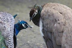 μπλε peacocks Στοκ εικόνες με δικαίωμα ελεύθερης χρήσης