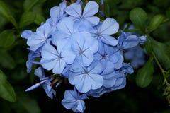 Μπλε Plumbago, plumbago ακρωτηρίων, auriculata Plumbago, ακρωτήριο leadwort Στοκ εικόνες με δικαίωμα ελεύθερης χρήσης