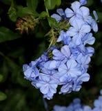 Μπλε Plumbago, plumbago ακρωτηρίων, auriculata Plumbago, ακρωτήριο leadwort Στοκ Εικόνες