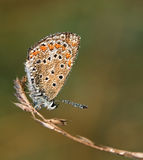 μπλε polyommatus του Ικάρου πετα&lam Στοκ εικόνα με δικαίωμα ελεύθερης χρήσης