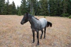 Μπλε Roan Yearling άγριο άλογο φοράδων στην άγρια σειρά αλόγων βουνών Pryor στη Μοντάνα ΗΠΑ Στοκ εικόνα με δικαίωμα ελεύθερης χρήσης