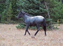 Μπλε Roan Yearling άγριο άλογο φοράδων στην άγρια σειρά αλόγων βουνών Pryor στη Μοντάνα ΗΠΑ Στοκ Φωτογραφίες
