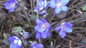 Μπλε snowdrops με τον Απρίλιο στο ξηρό δάσος απόθεμα βίντεο
