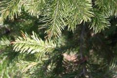 μπλε snowflakes ανασκόπησης άσπρος χειμώνας αιώνια πράσινο δέντρο Στοκ Εικόνες