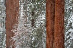 μπλε snowflakes ανασκόπησης άσπρος χειμώνας Γιγαντιαίο Sequoia giganteum Sequoiadendron δέντρων, Sequoia στο εθνικό πάρκο κατά τη στοκ φωτογραφία