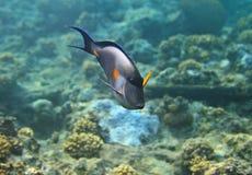 μπλε surgeonfish Στοκ εικόνα με δικαίωμα ελεύθερης χρήσης