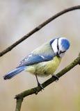 μπλε tit Στοκ εικόνες με δικαίωμα ελεύθερης χρήσης
