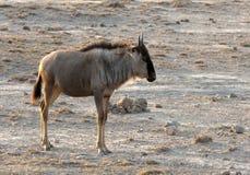 Μπλε Wildebeest, Gnoe, taurinus Connochaetes στοκ φωτογραφία με δικαίωμα ελεύθερης χρήσης