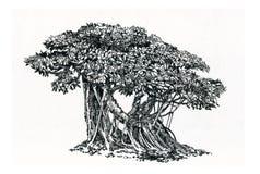 Μπονσάι, παλαιό δέντρο, Ficus με τις εναέριες ρίζες Στοκ φωτογραφίες με δικαίωμα ελεύθερης χρήσης