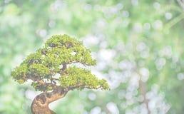 Μπονσάι στο πράσινο διάστημα υποβάθρου bokeh για το κείμενο Στοκ Φωτογραφία