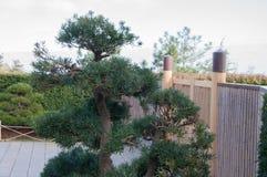 Μπονσάι στο υπόβαθρο του φράκτη μπαμπού στο κινεζικό ύφος Στοκ Εικόνα
