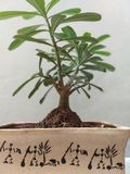 Μπονσάι στοκ εικόνες με δικαίωμα ελεύθερης χρήσης