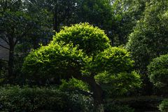 Μπονσάι-Podocarpus macrophyllus Στοκ φωτογραφία με δικαίωμα ελεύθερης χρήσης