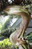 Μπονσάι-Podocarpus macrophyllus 1 Στοκ φωτογραφίες με δικαίωμα ελεύθερης χρήσης