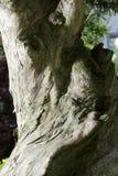 Μπονσάι-Podocarpus macrophyllus 3 Στοκ Εικόνες