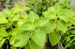 Μποράγκο χώρας, ινδικό μποράγκο, Coleus amboinicus Lour (amboinicus Plectranthus (Lour.)) Στοκ εικόνες με δικαίωμα ελεύθερης χρήσης