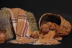 Μπορντώ de dog dogue Στοκ Φωτογραφία