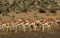Μποτσουάνα: Ένα κοπάδι Antilopes στην έρημο της Καλαχάρης κοντά σε ένα wate Στοκ φωτογραφία με δικαίωμα ελεύθερης χρήσης
