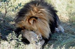Μποτσουάνα: Ένα λιοντάρι που βρίσκεται στο θάμνο και που καλύπτει τα μάτια και αριθ. του Στοκ Φωτογραφίες
