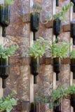 Μπουκάλια κρασιού που επαναχρησιμοποιούνται ως δοχείο λουλουδιών Στοκ Φωτογραφίες