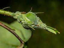 Μπουμπούκι τριαντάφυλλου με τα aphids Στοκ φωτογραφία με δικαίωμα ελεύθερης χρήσης