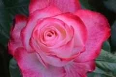 Μπουμπούκι τριαντάφυλλου 02 παρφαί κερασιών στοκ φωτογραφία