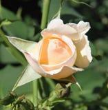 Μπουμπούκι τριαντάφυλλου ροδάκινων Στοκ Φωτογραφία