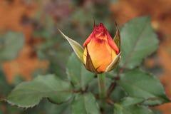 Μπουμπούκι τριαντάφυλλου Στοκ Φωτογραφία