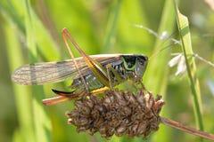 Μπους-γρύλος Roesel (roeselii Metrioptera) Στοκ Φωτογραφία