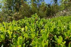 Μπους και Bearberry φύλλων φυτό Στοκ Εικόνες
