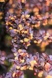 Μπους με τα καφετιά φύλλα και τα κίτρινα λουλούδια Στοκ Φωτογραφία