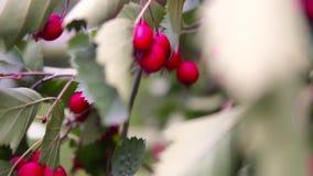 Μπους με τα κόκκινα μούρα στο πάρκο Από το unfocus για να στραφεί φιλμ μικρού μήκους