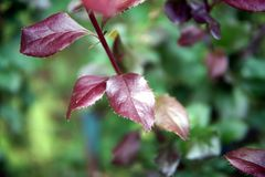 Μπους με τα κόκκινα φύλλα, κινηματογράφηση σε πρώτο πλάνο στοκ φωτογραφία με δικαίωμα ελεύθερης χρήσης