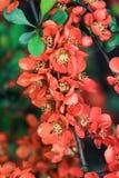 Μπους με τα πορτοκαλιά λουλούδια Στοκ φωτογραφία με δικαίωμα ελεύθερης χρήσης