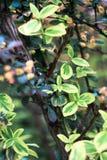 Μπους με τα σκοτεινά και ανοικτό πράσινο φύλλα Στοκ φωτογραφίες με δικαίωμα ελεύθερης χρήσης
