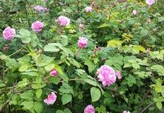 Μπους με τα τριαντάφυλλα στον κήπο - άνοιξη στοκ εικόνα