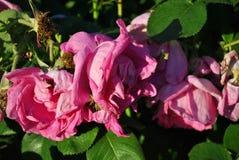 Μπους με τα limp ρόδινα λουλούδια τριαντάφυλλων, μαλακά μουτζουρωμένα πέταλα στοκ εικόνες με δικαίωμα ελεύθερης χρήσης