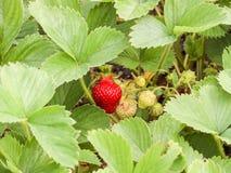 Μπους με την ωριμάζοντας φράουλα μούρων Πράσινα φύλλα, κόκκινα και πράσινα μούρα Στοκ Εικόνες