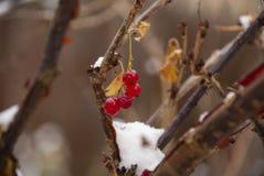 Μπους της κόκκινης σταφίδας Στοκ εικόνα με δικαίωμα ελεύθερης χρήσης