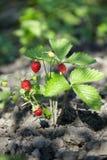 Μπους της φράουλας στον κήπο στο ανοικτό έδαφος στοκ φωτογραφία με δικαίωμα ελεύθερης χρήσης