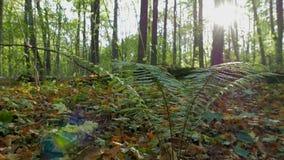 Μπους της φτέρης στο δάσος φθινοπώρου στις ακτίνες του ήλιου ρύθμισης απόθεμα βίντεο