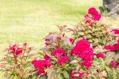 Μπους του ροδανιλίνης λουλουδιού cockscomb Στοκ εικόνες με δικαίωμα ελεύθερης χρήσης