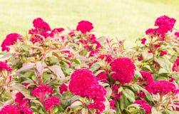 Μπους του ροδανιλίνης λουλουδιού cockscomb Στοκ εικόνα με δικαίωμα ελεύθερης χρήσης