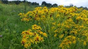Μπους των κίτρινων λουλουδιών με τα μικρά έντομα στοκ φωτογραφίες με δικαίωμα ελεύθερης χρήσης