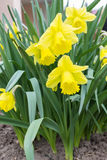 Μπους των κίτρινων daffodils Στοκ φωτογραφία με δικαίωμα ελεύθερης χρήσης