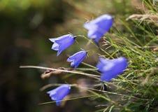 Μπους των κουδούνι-λουλουδιών Στοκ Φωτογραφία