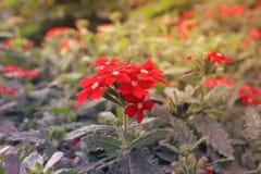 Μπους των κόκκινων λουλουδιών σε ένα πάρκο Στοκ φωτογραφία με δικαίωμα ελεύθερης χρήσης