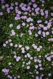 Μπους των πορφυρών και ρόδινων λουλουδιών στοκ φωτογραφία